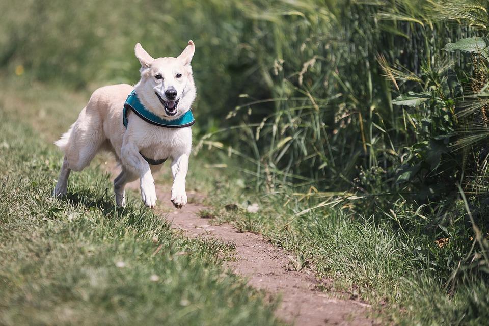 Déceler les problèmes d'un chien qui fugue : les cas spécifiques