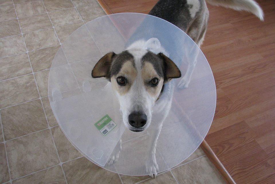 Soulager et soigner l'eczéma du chien : traitements et régime alimentaire