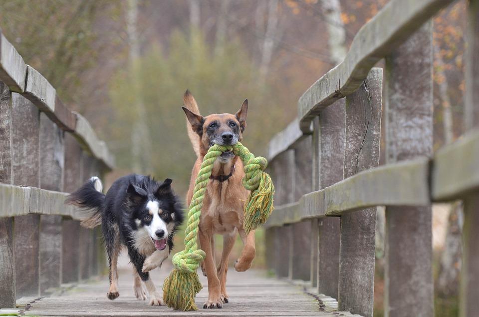 L'accouplement entre 2 chiens de races différentesest-il préconisé?