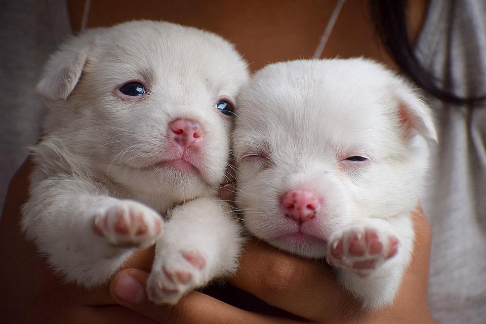 Reconnaitre une mise bas chez la chienne : les signes annonciateurs
